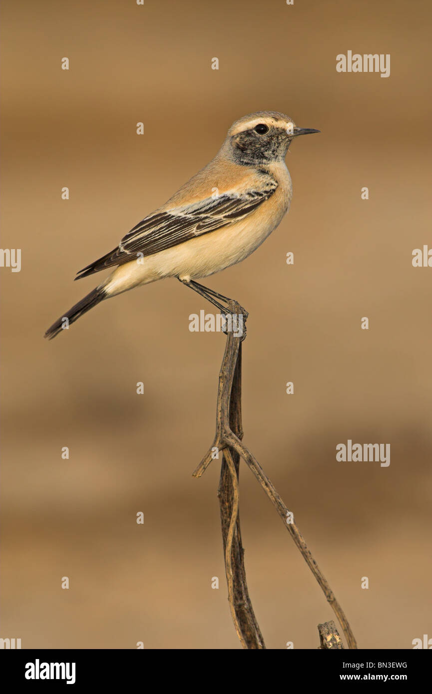 Desert Wheatear (Oenanthe deserti) sitting on a twig, side view - Stock Image