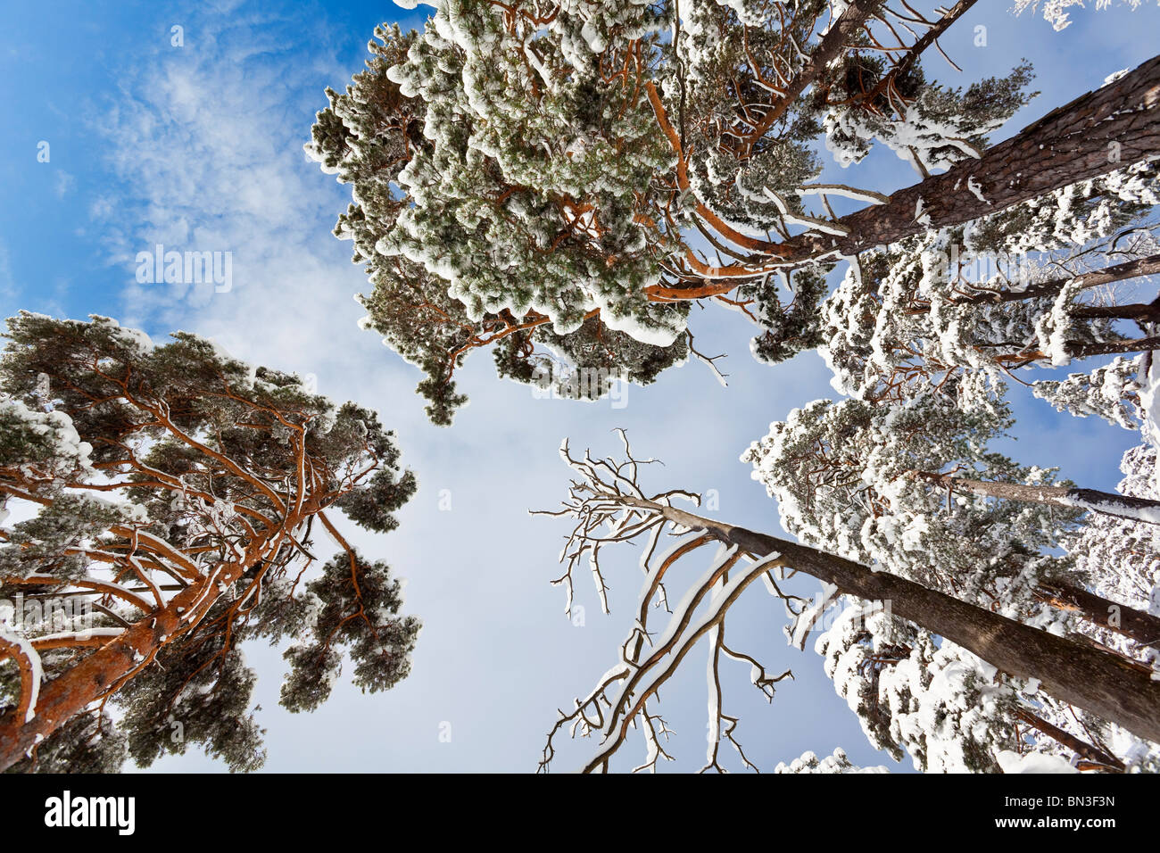 Snow-covered Scots Pines (Pinus sylvestris), Berchtesgadener Land,  Germany, worm's-eye view - Stock Image
