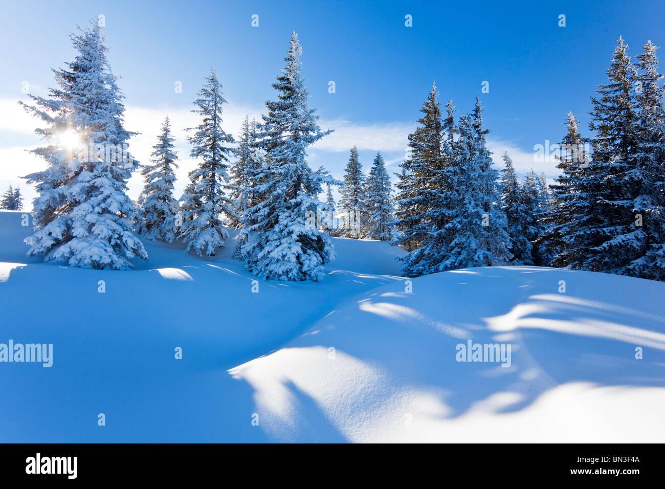 Snow-covered spruce trees, Berchtesgaden Alps, Muehlbach, Austria - Stock Image