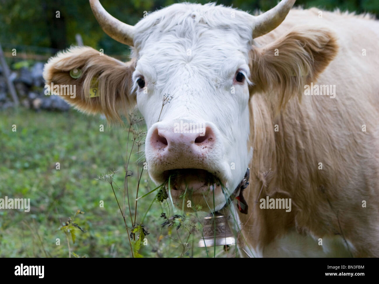 Funny swiss cow eating from pasture grass land in bernese oberland wearing neck bell and grass in mouth Stock Photo