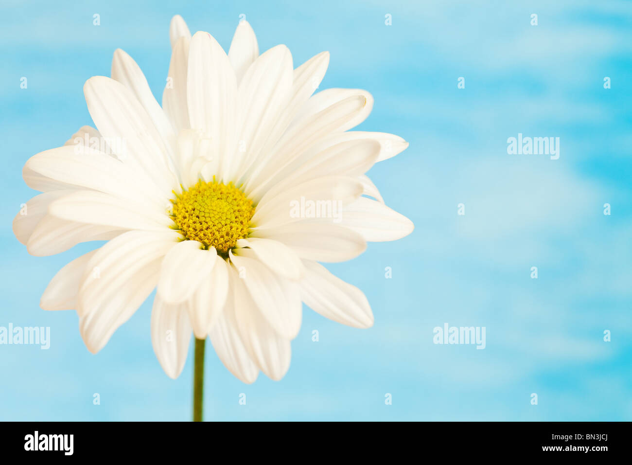 white and yellow daisy on a handpained watercolor background - Stock Image