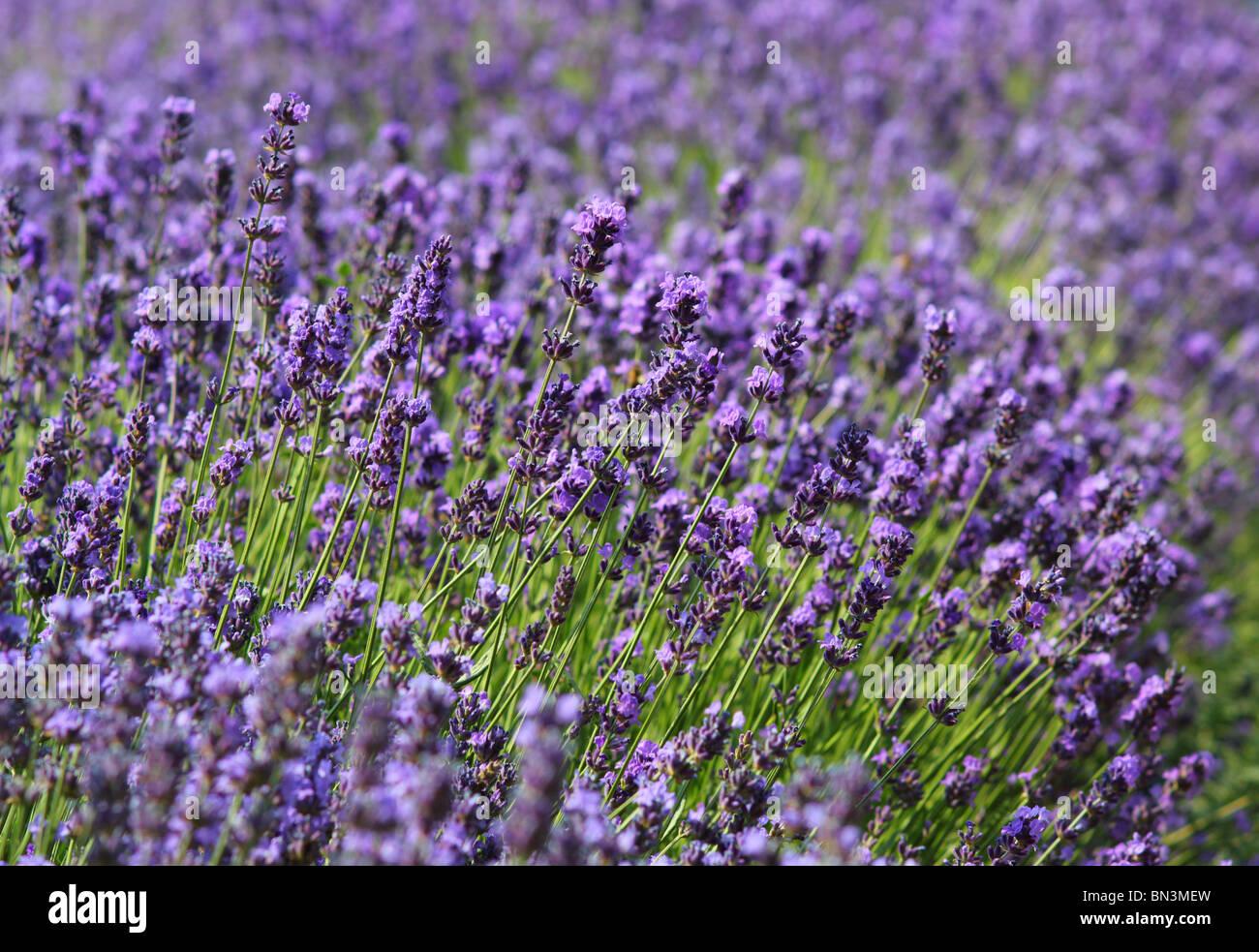 Lavender flowers in fool bloom Lavandula angustifolia - Stock Image