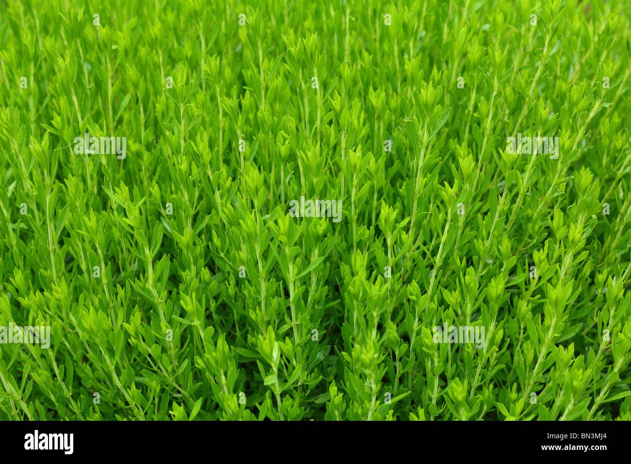Savory Satureja montana herb fresh green spice - Stock Image