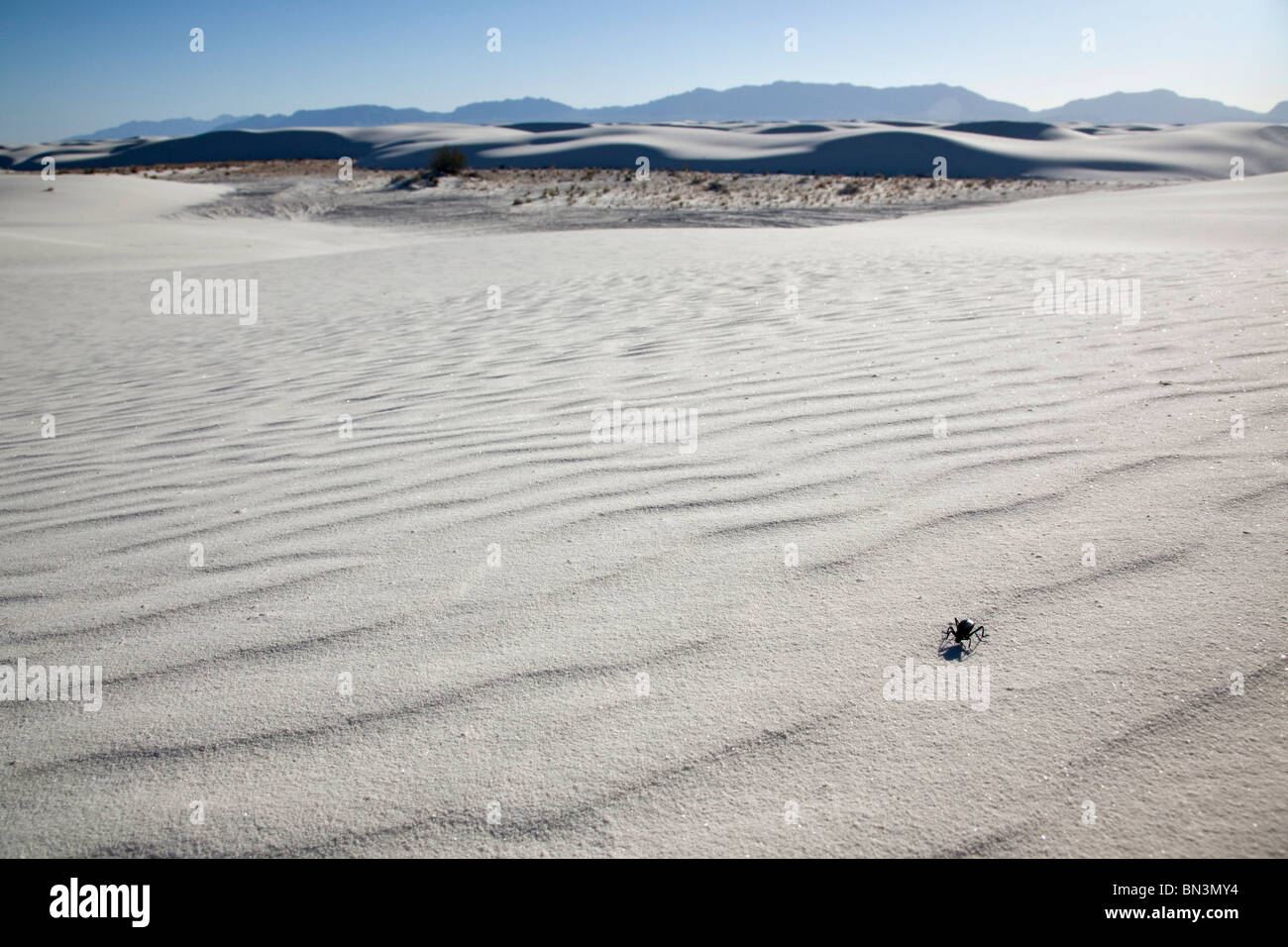 Beetle in sand, White Sands National Monument, New Mexico, USA - Stock Image