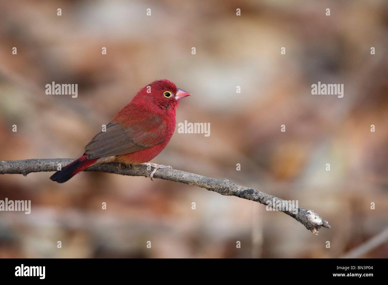 Red-billed Firefinch, Lagonosticta senegala, Gambia, West Africa, Africa Stock Photo
