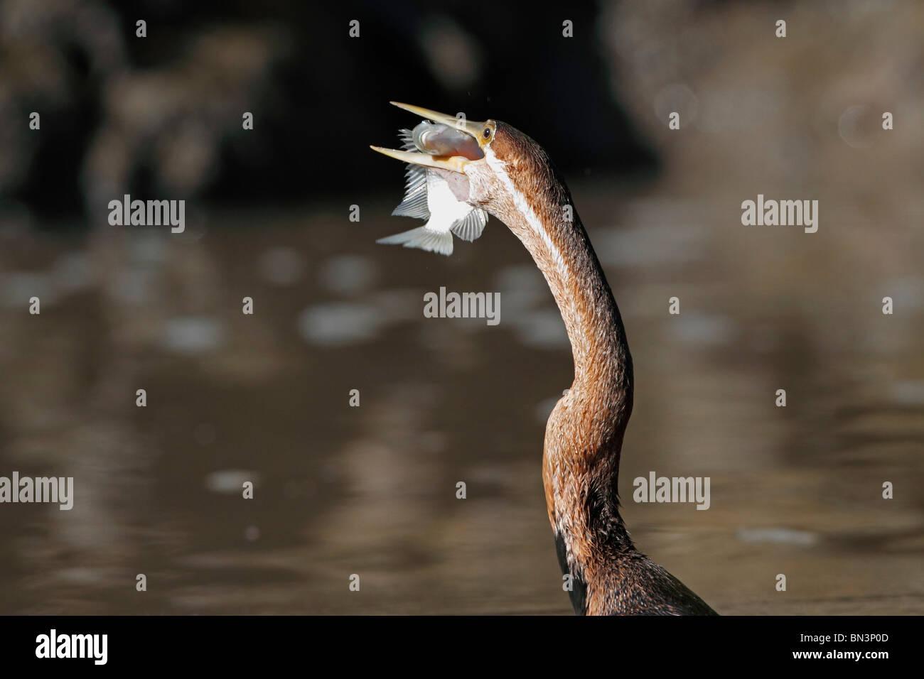 African Darter, Anhinga melanogaster rufa, eating prey, Gambia, Westafrika, Afrika - Stock Image