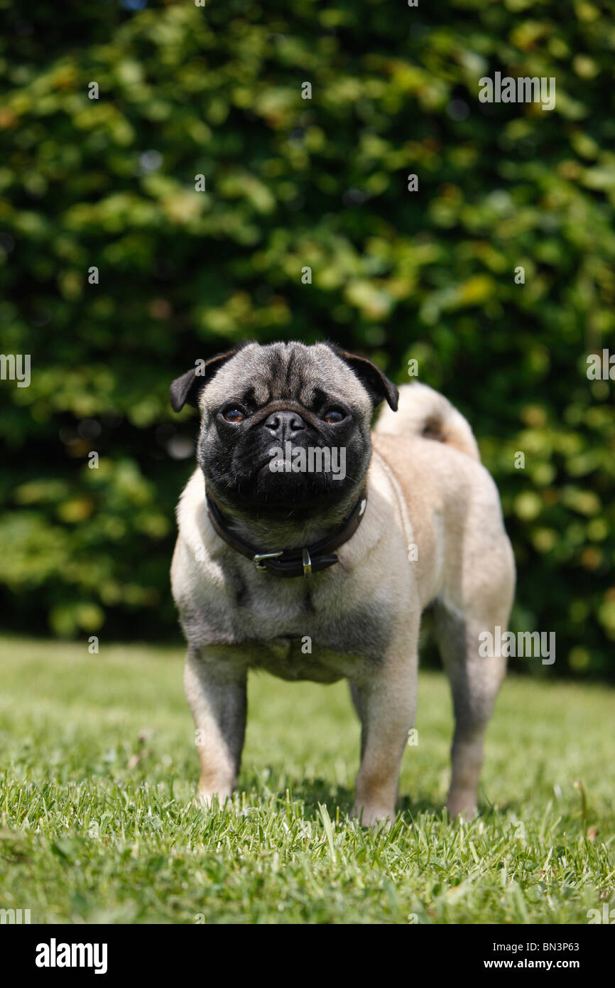 mixed breed dog (Canis lupus f. familiaris), mix breed between pug and French Bulldog in a meadow, Germany - Stock Image