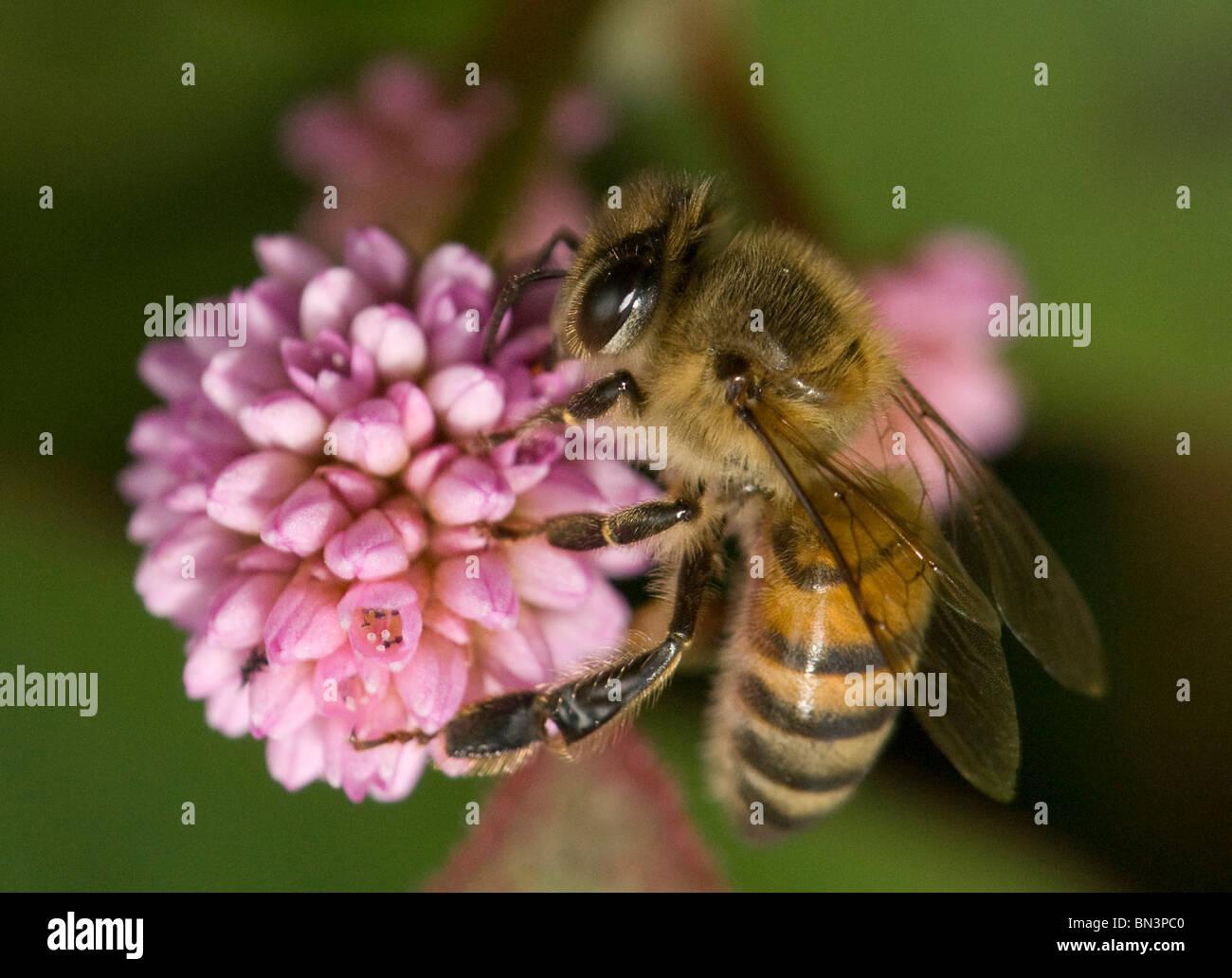 honeybee foraging on a flower - Stock Image