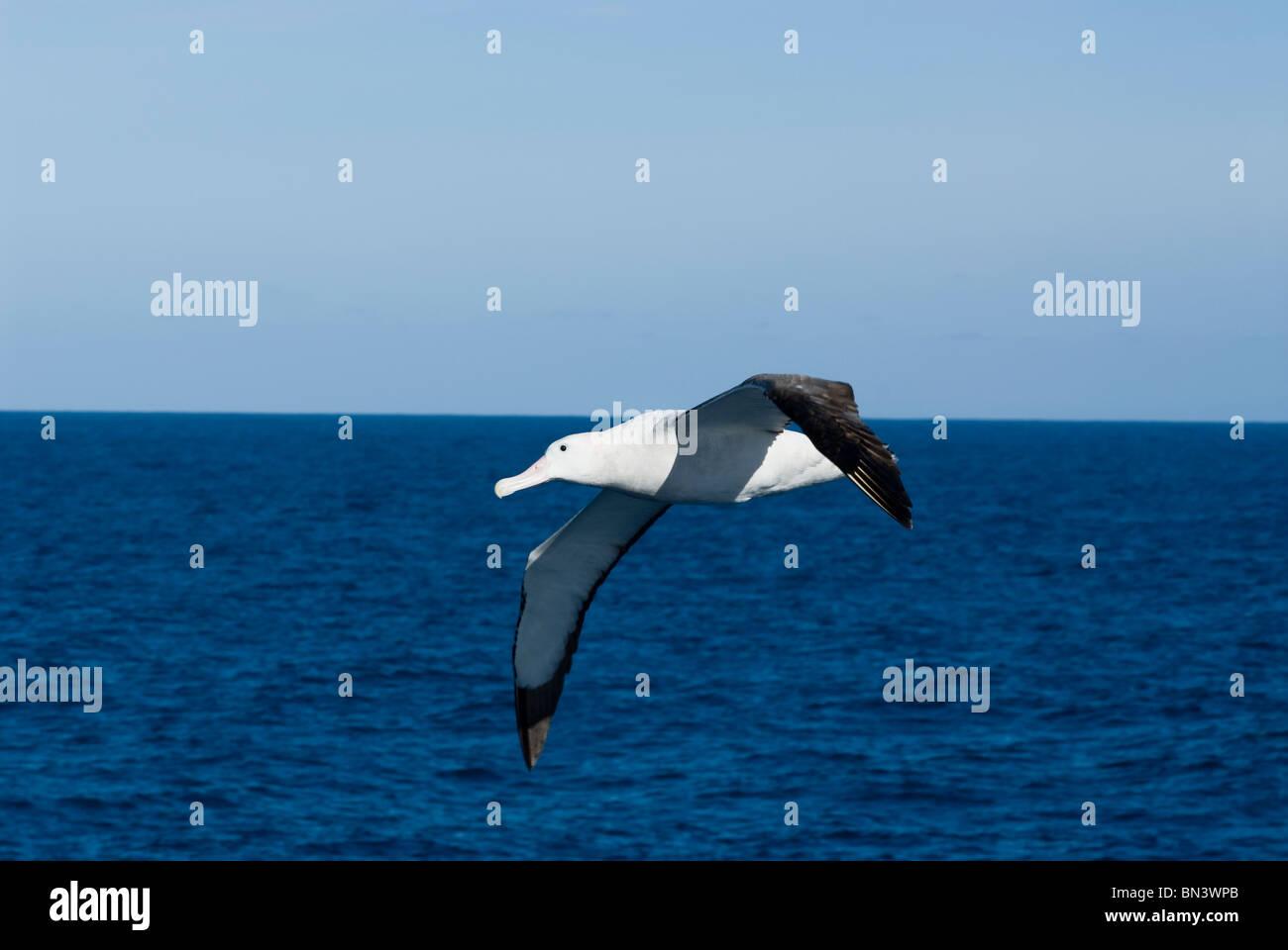 A Wondering Albatross, Diomedea exulans, flying, Antarctica - Stock Image