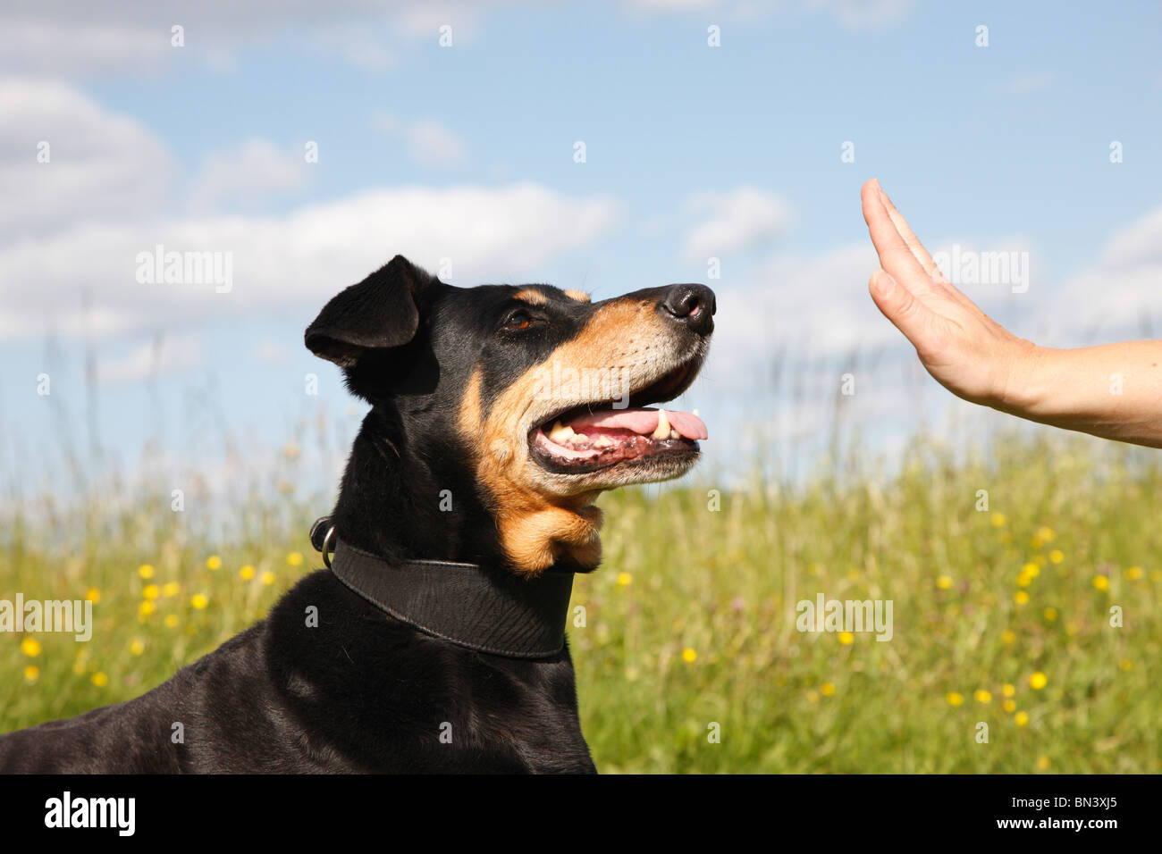 mixed breed dog (Canis lupus f. familiaris), Dobermann mix getting the order to rest, Germany - Stock Image