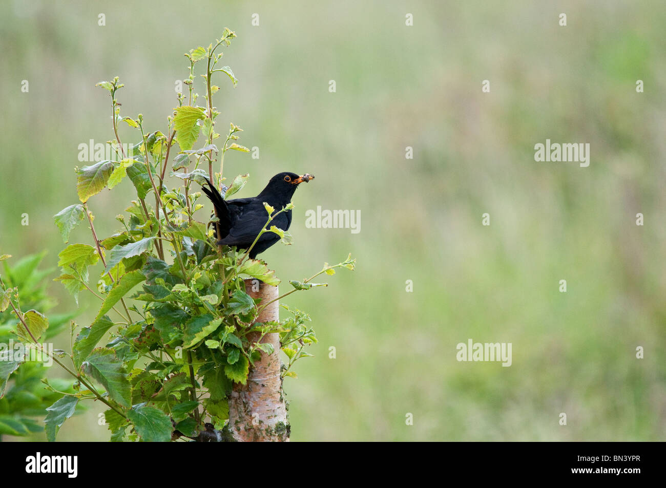 Blackbird with insect - Stock Image