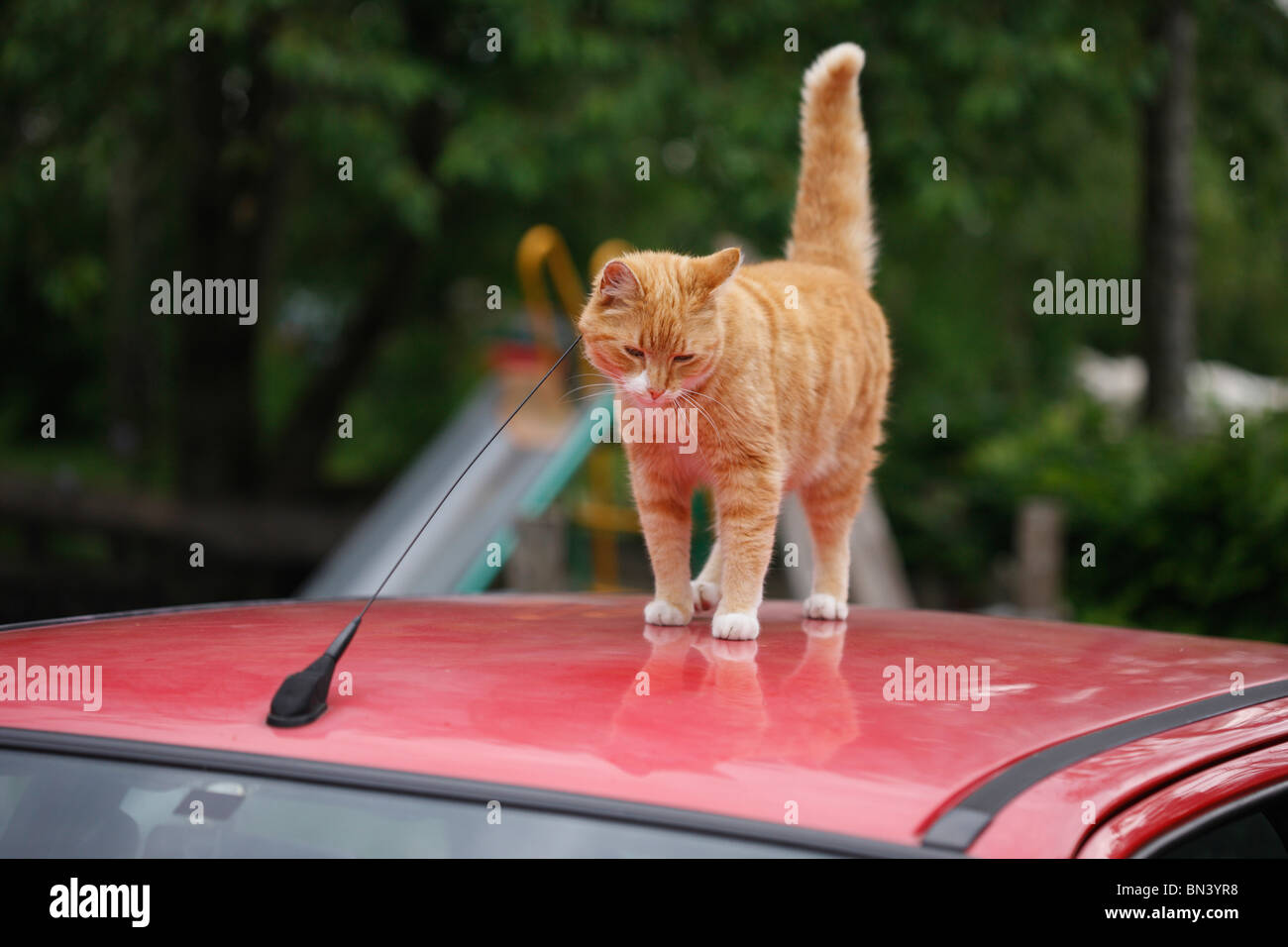 domestic cat, house cat, European Shorthair (Felis silvestris f. catus), red tomcat on a car roof scratching at - Stock Image