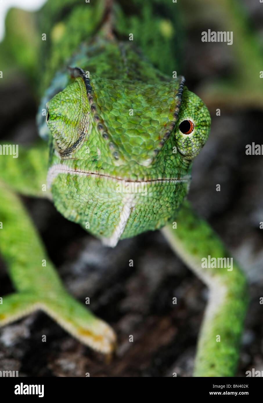 Close up of Flap-necked Chameleon, Chameleo delepis - Stock Image