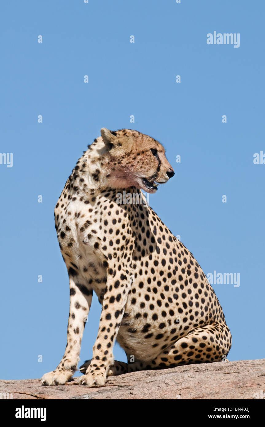 Cheetah standing alert on a kopje - Stock Image