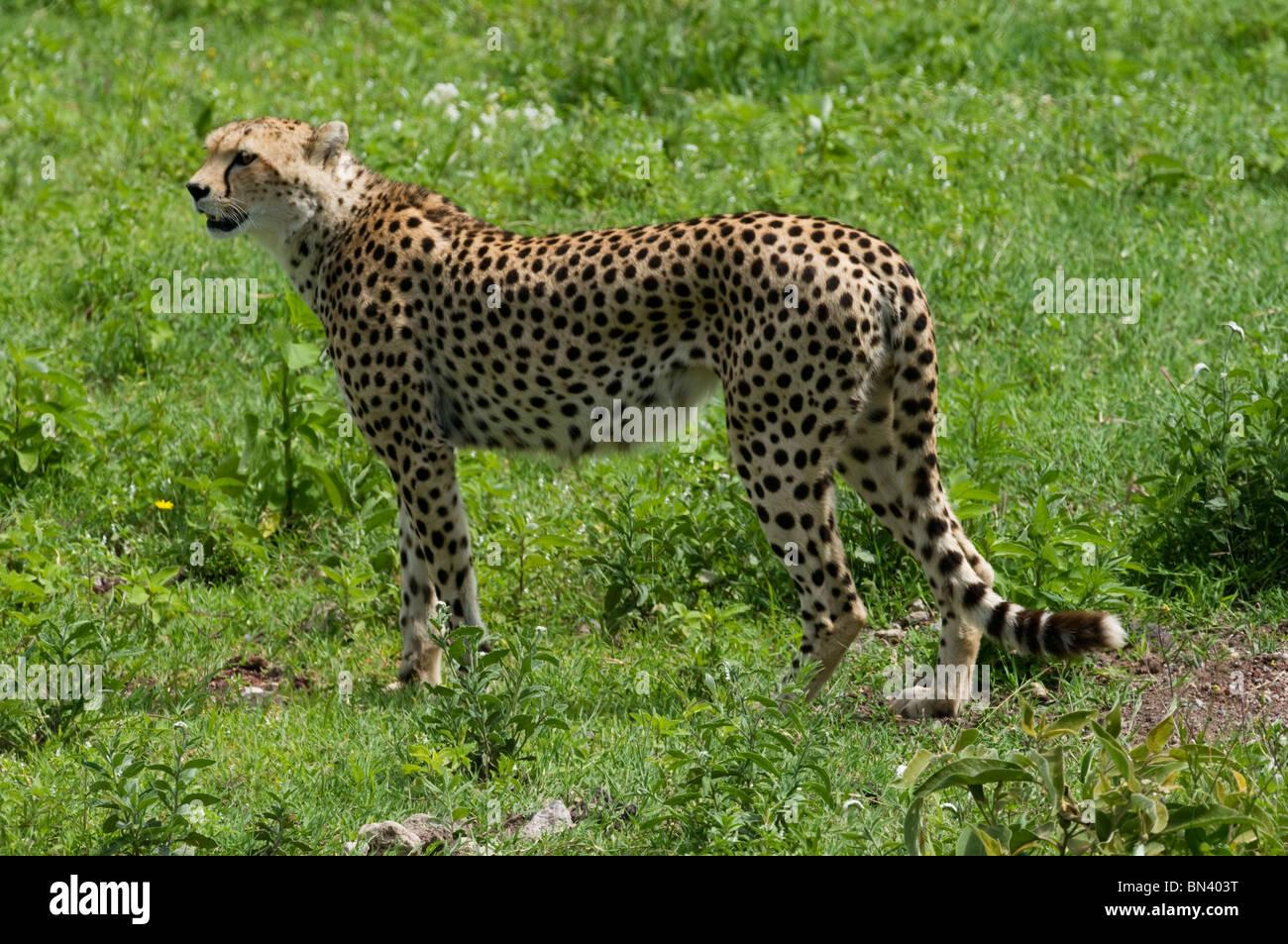 Cheetah standing alert in the grass - Stock Image