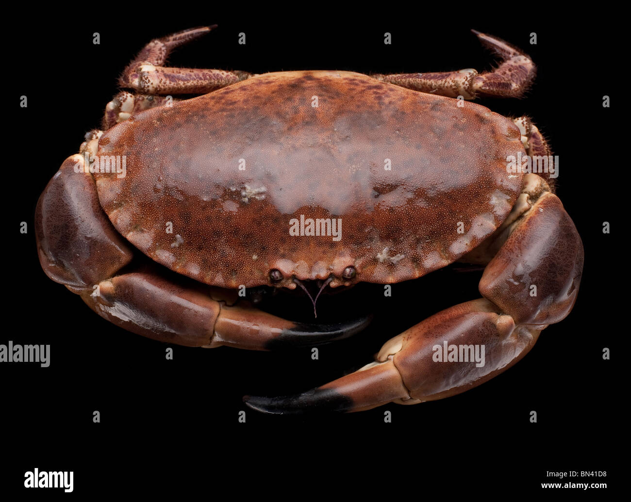 Live crab, decapod crustaceans of the infraorder Brachyura - Stock Image