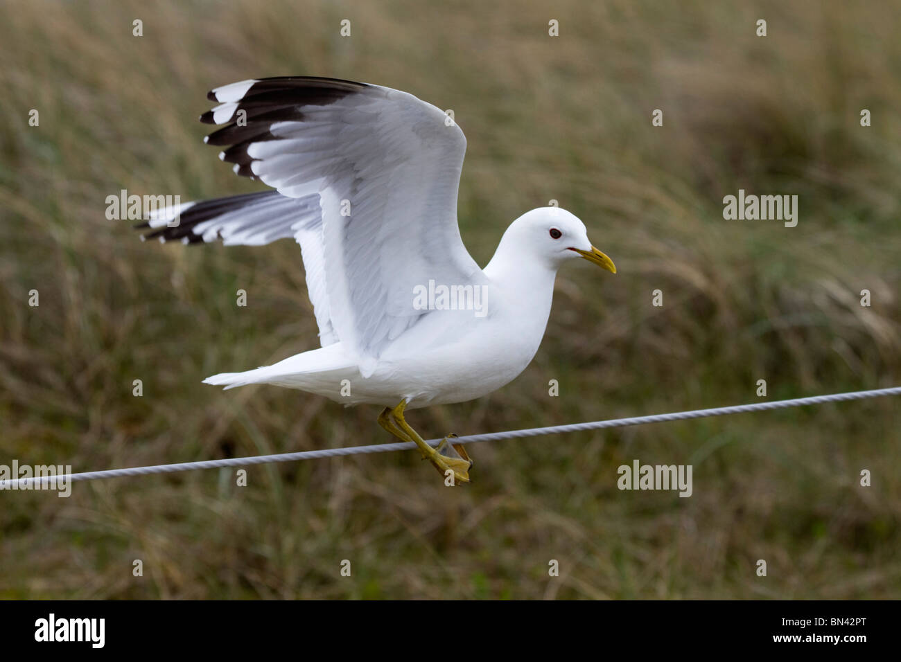 Common Gull; Larus canus; on a wire Stock Photo