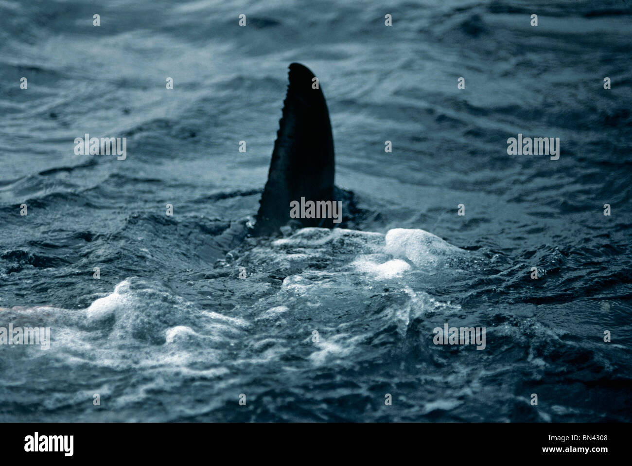 Dorsal fin of Great White Shark (Carcharodon carcharias) breaking the surface, Dangerous Reef, South Australia - Stock Image