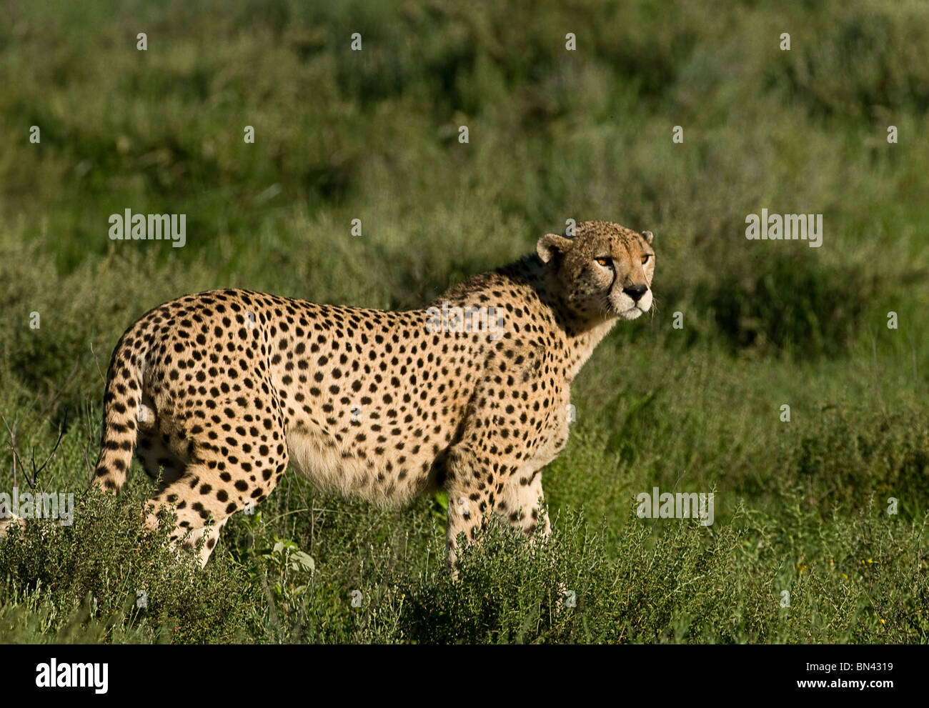 Cheetah standing alert in the grass in the wild, in the Serengeti in Tanzania - Stock Image