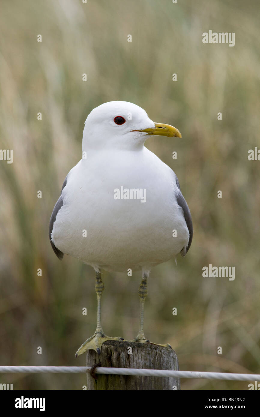 Common Gull; Larus canus; on a post; Stock Photo