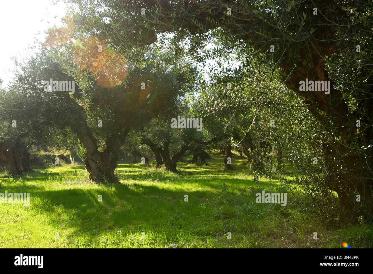Olive Trees in olive grove, Zakynthos, Ionian islands, Greece - Stock Image