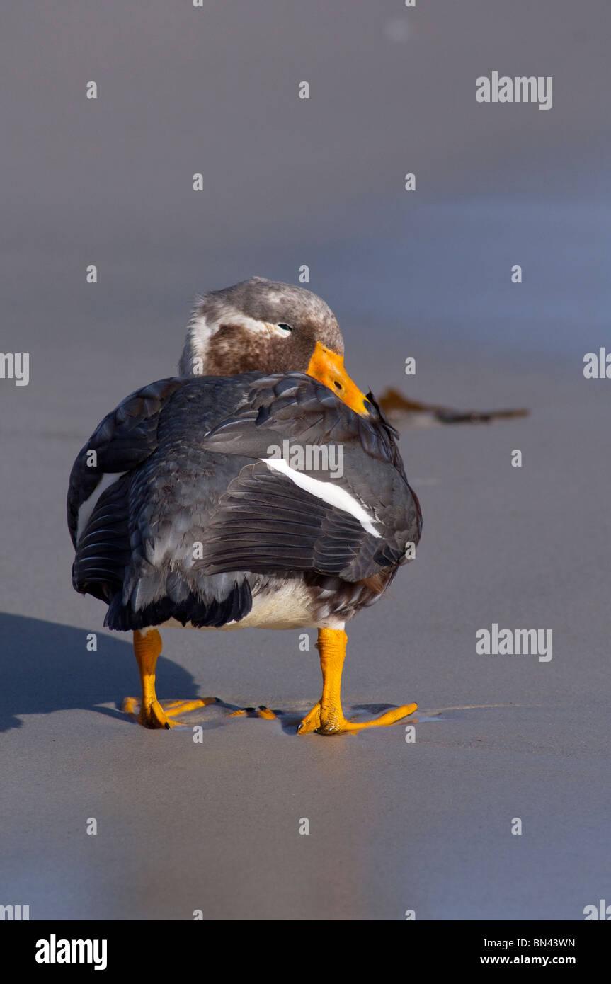 Falkland Islands, West Falkland, Saunders Island. Endemic flightless Falkland Steamer duck aka Logger duck - Stock Image