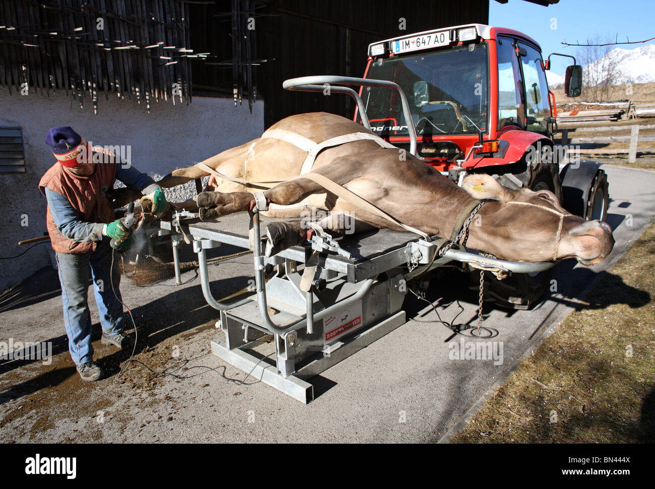 Vet cuts a cow's hooves, Jerzens, Austria - Stock Image