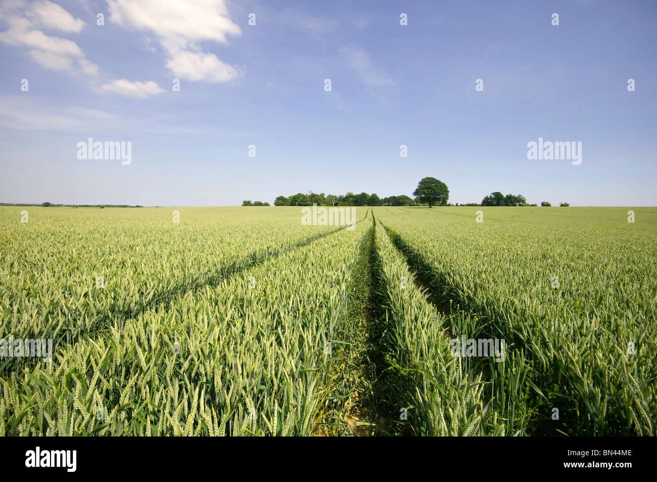 field of wheat kent england UK - Stock Image