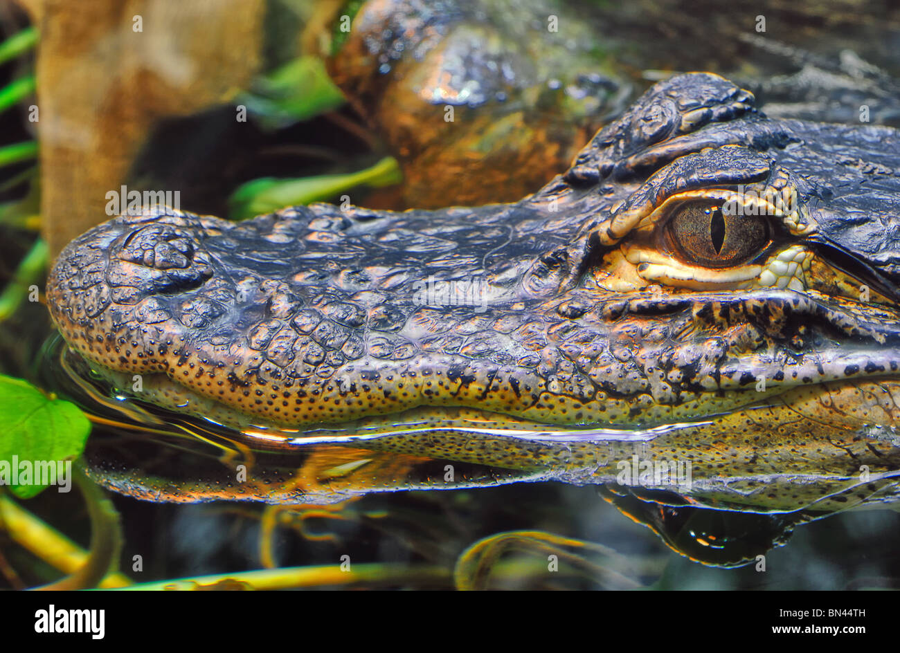 Head of a foot- long young Alligator (Alligator Mississippiensis) at Chattanooga Aquarium in Tennessee, USA Stock Photo