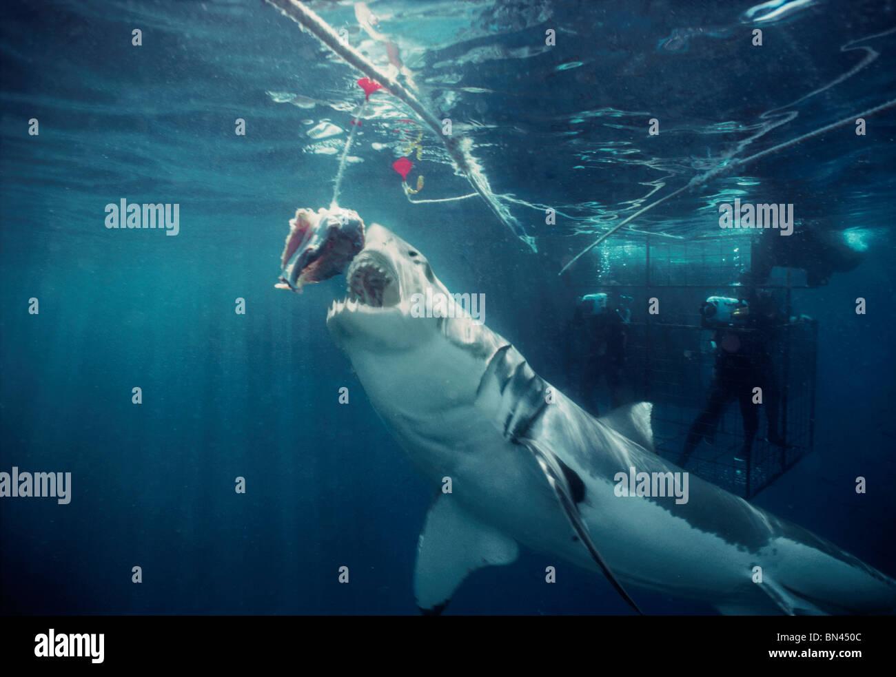 Great White Shark Australia | Divers Filming Great White Shark Carcharodon Carcharias Attacking
