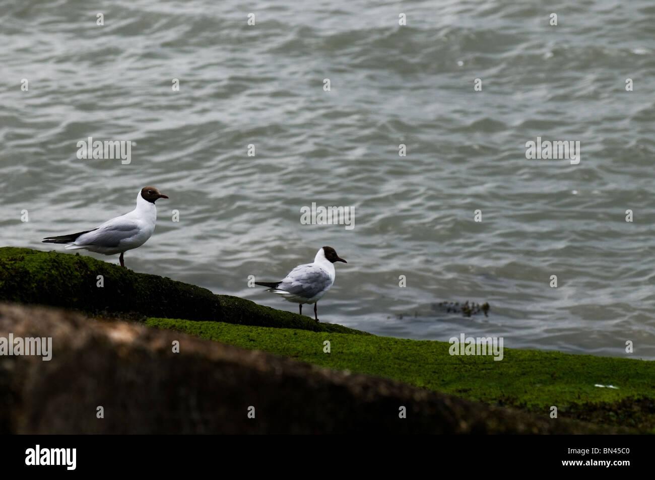 Black-headed Gulls near water.  Photo by Gordon Scammell - Stock Image