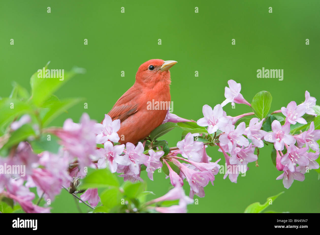 Summer Tanager perching in Pink Honeysuckle - Stock Image