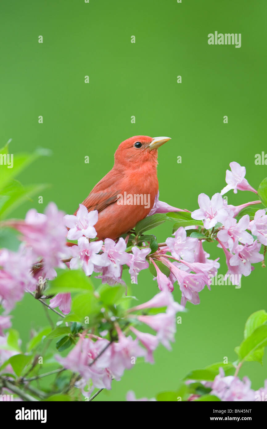 Summer Tanager perching in Pink Honeysuckle - Vertical - Stock Image