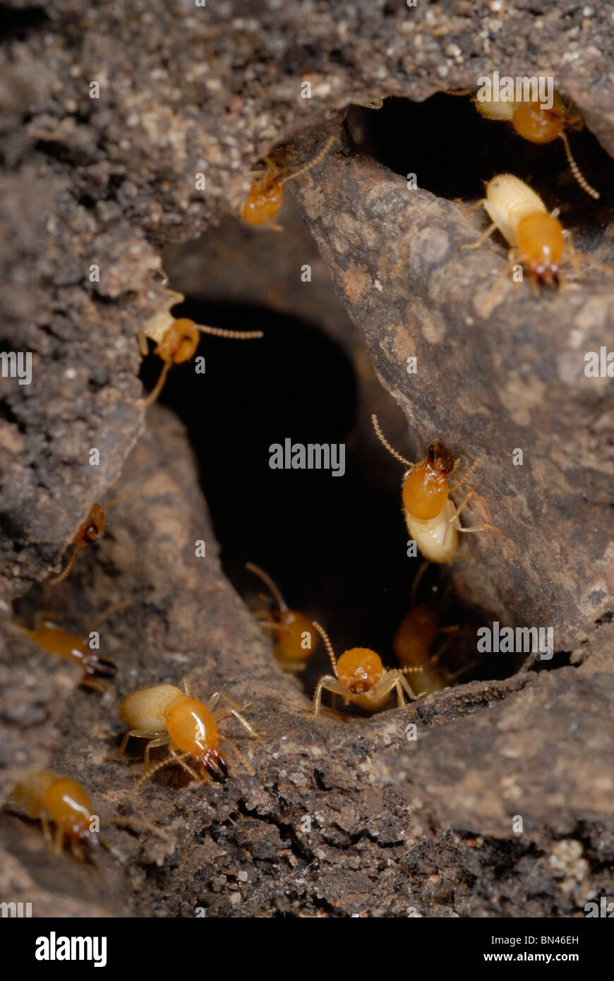 Close up of a disturbed nest of Formosan subterranean termites - Stock Image