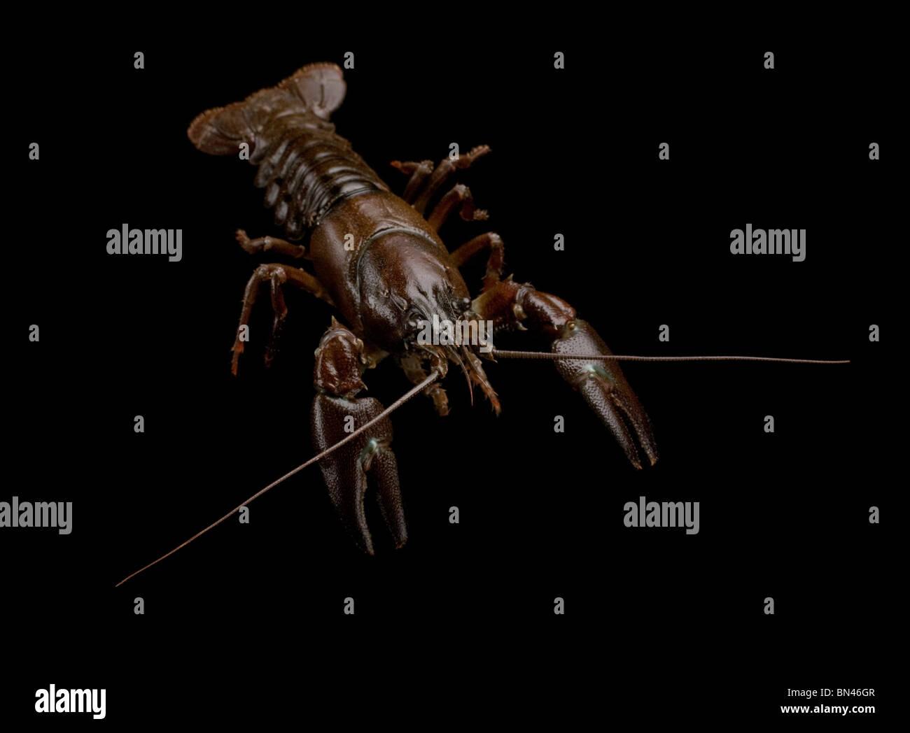 Signal crayfish (Pacifastacus leniusculus) - Stock Image