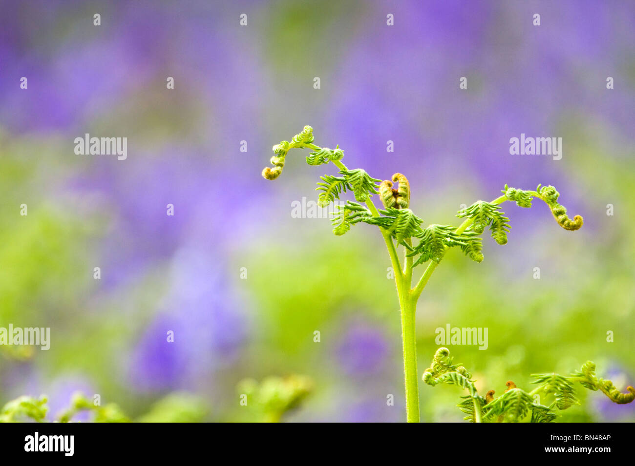 Bracken; Pteridium aquilinum; amongst bluebells - Stock Image