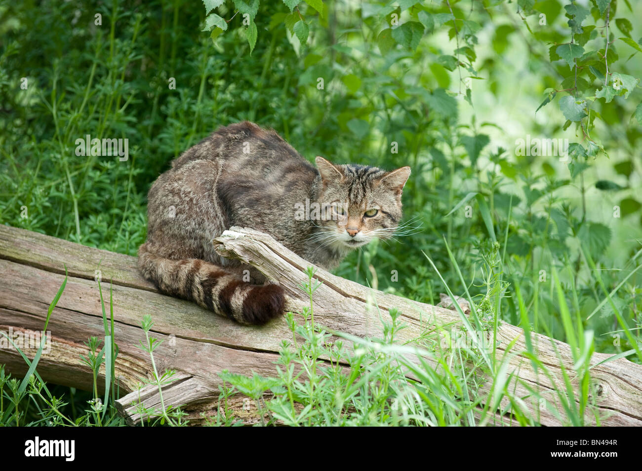 British wild cat, now only found in the wild in Scotland - Stock Image