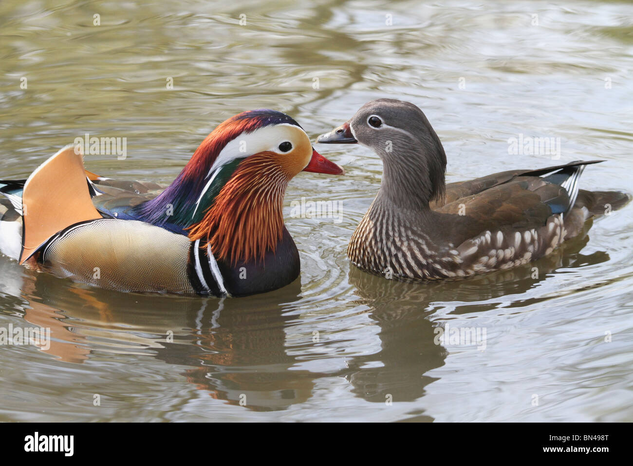 Male And Female Mandarin Duck Aix Galericulata Facing Each Other In A Pond Richmond Park England