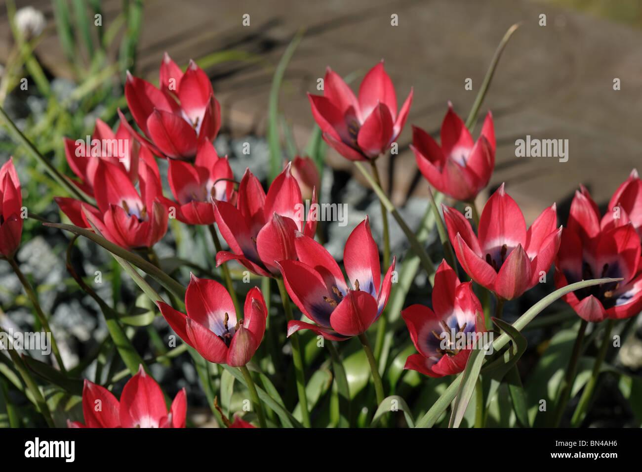 Miniature Tulip Little Beauty in flower - Stock Image