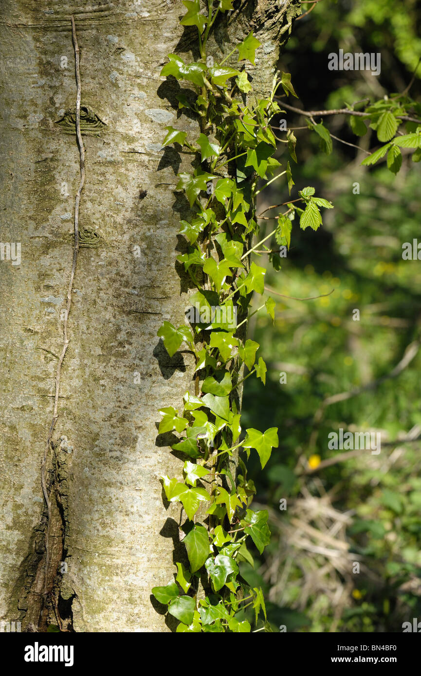Ivy (Hedera helix) growing & climbing on the trunk of an ash tree - Stock Image