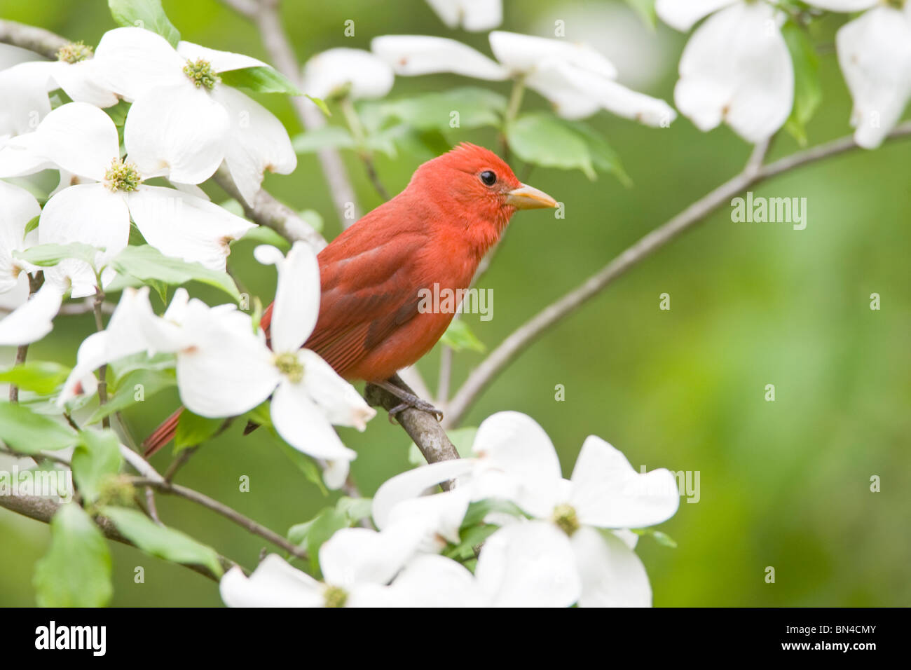 Summer Tanager perching in Dogwood Tree - Stock Image
