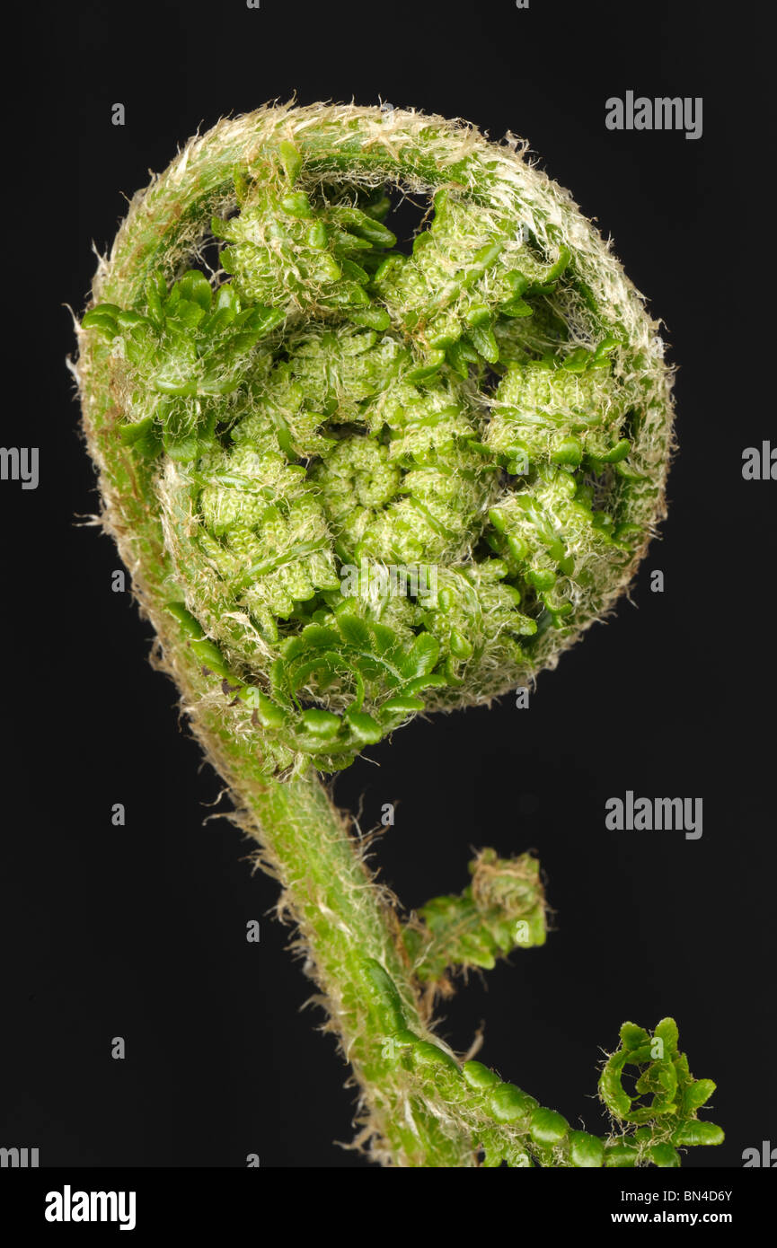 Male fern (Dryopteris filix-mas) frond curled before extension in spring, black background - Stock Image