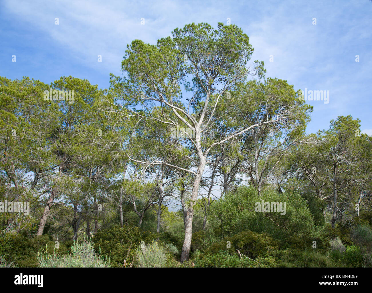 group of The Aleppo Pines (Pinus halepensis); native to Mediterranean - Stock Image