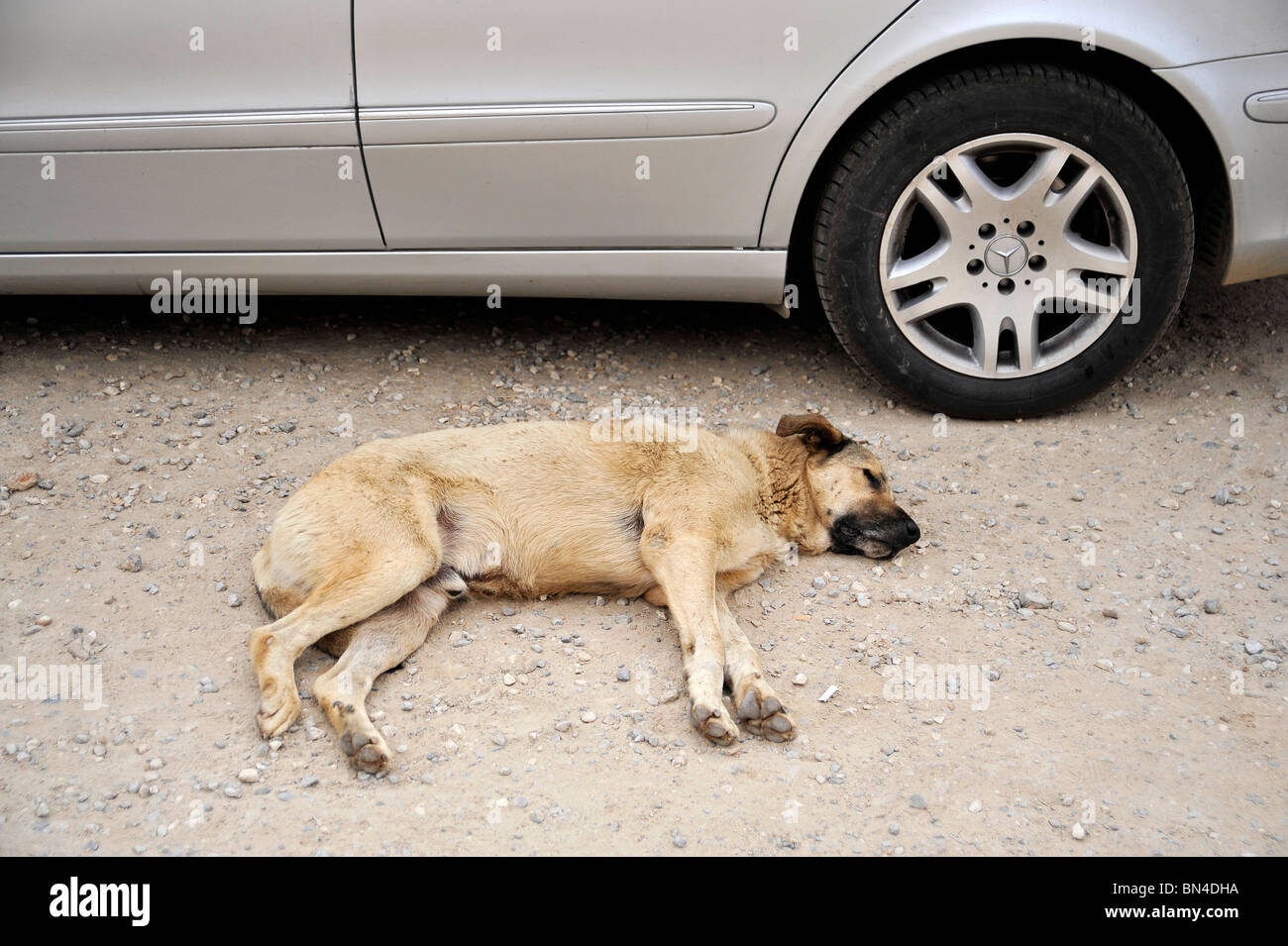 A sleeping dog observed by a car in Torba Turkey - Stock Image