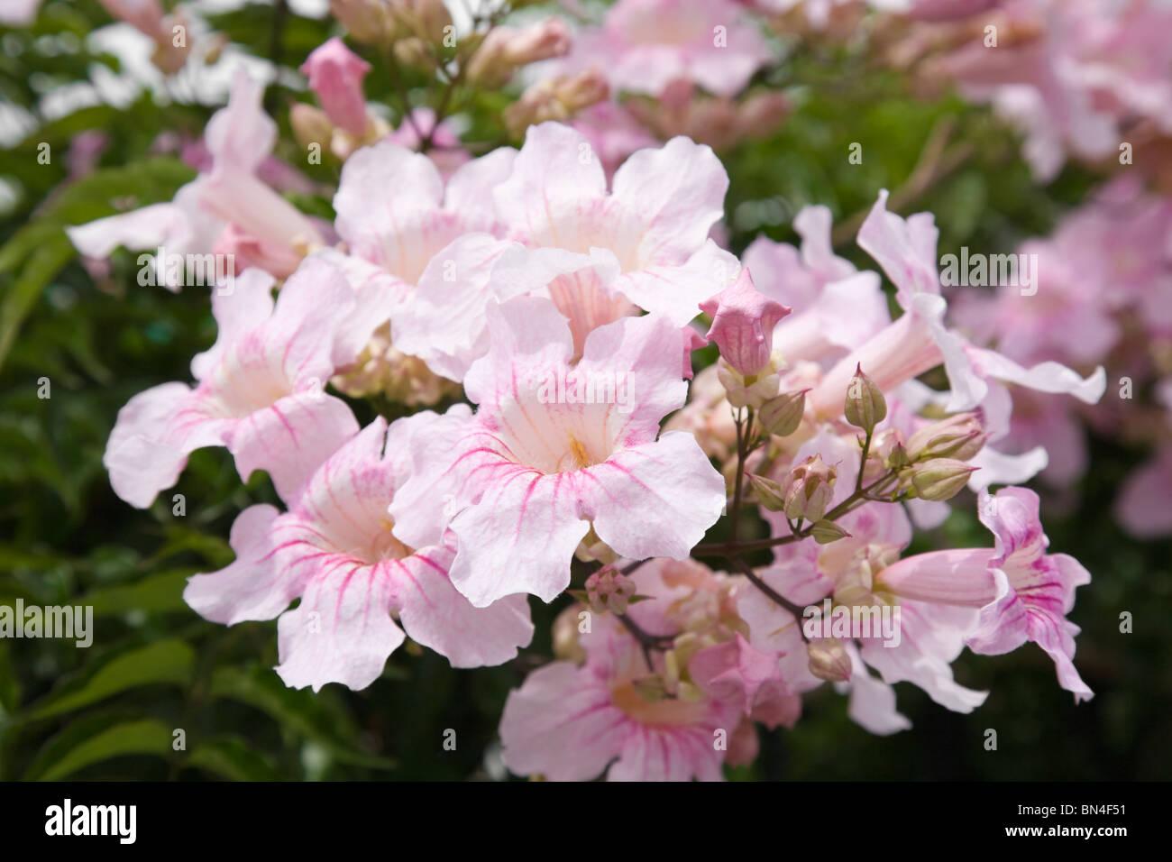 Large flower cluster pink trumpet vine stock photos large flower large flower cluster of pandorea ricasoliana pink tecoma pink trumpet vine port st mightylinksfo