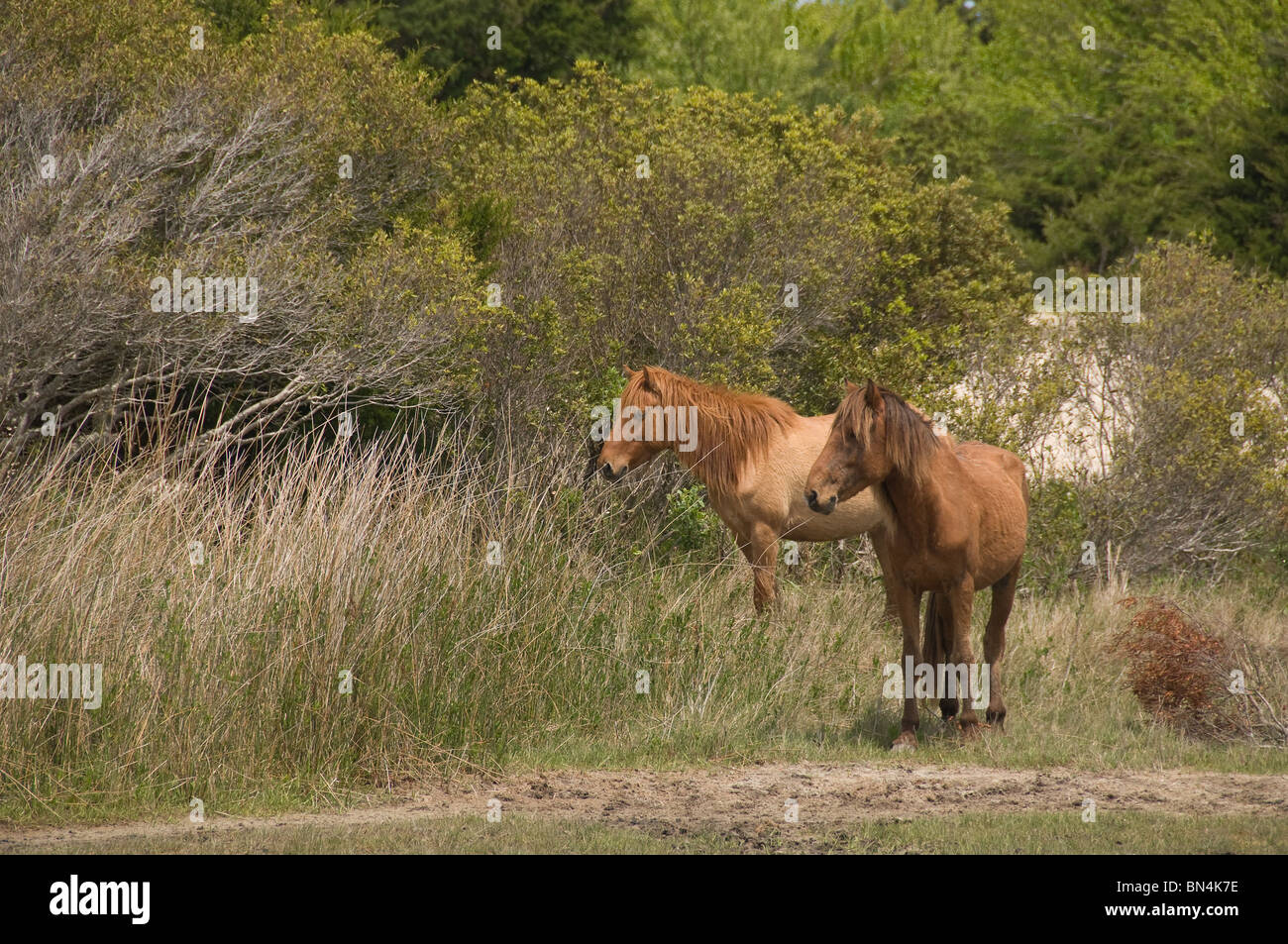 Wild Spanish Mustang horses standing near wooded area on the outer banks of North Carolina USA - Stock Image