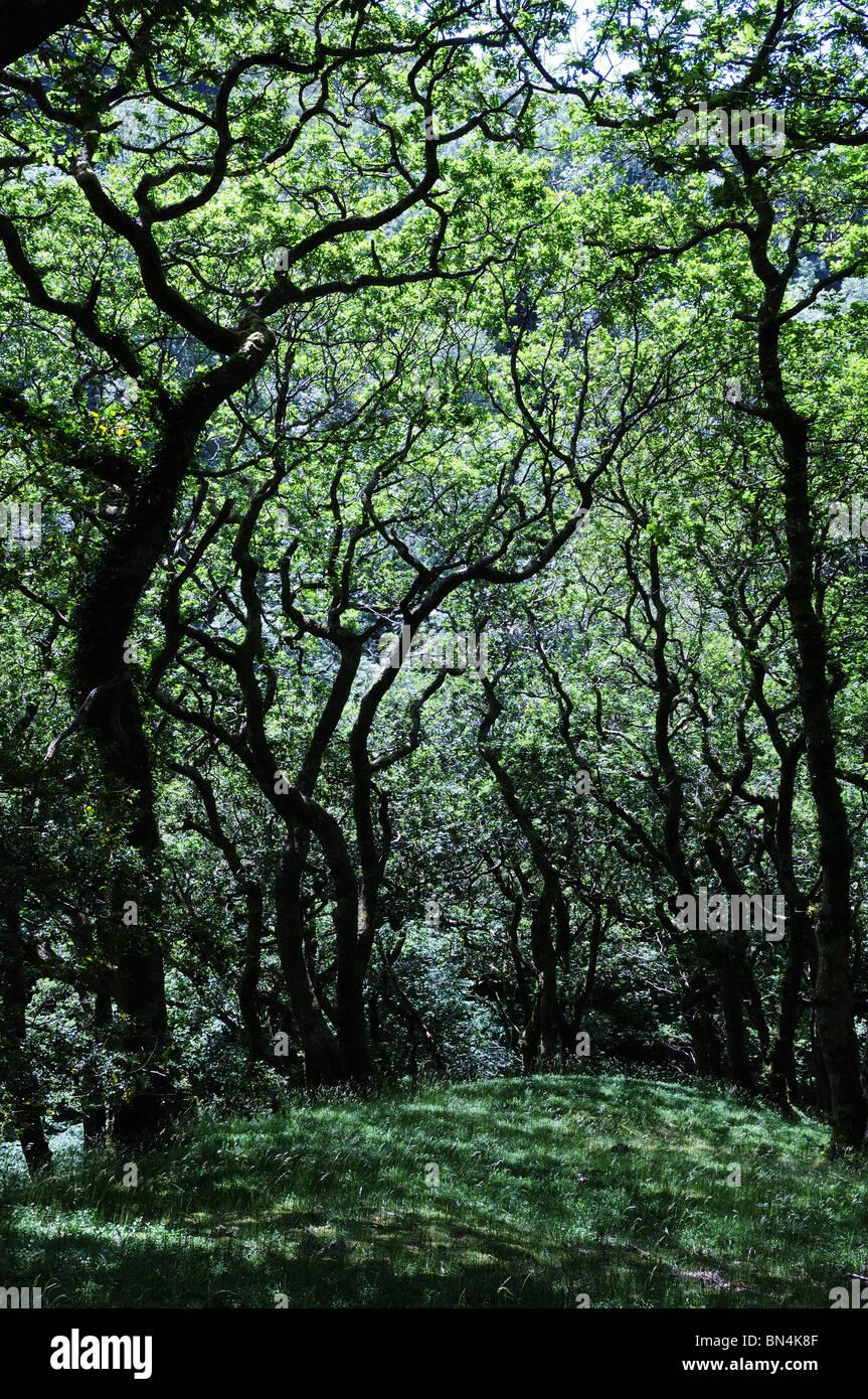 Ancient oak woodland at  Dolgoch Gwynedd South West Snowdonia Wales cymru UK GB - Stock Image
