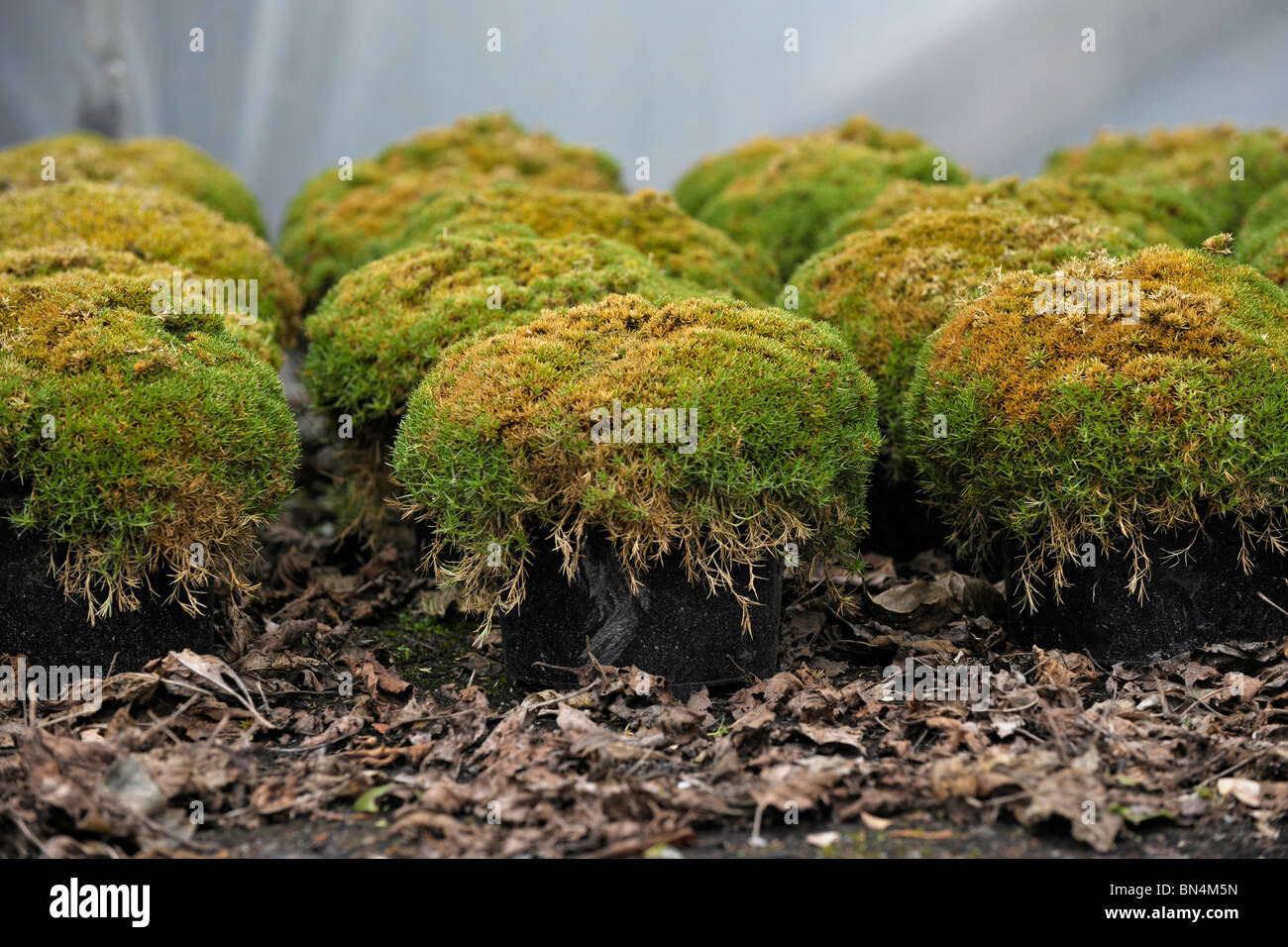Moss Growing In Containers Stock Photo 30221793 Alamy