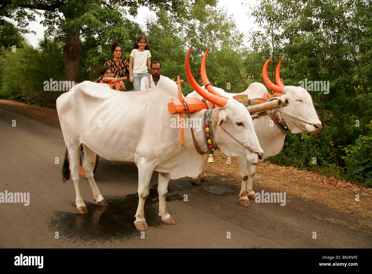 South Asian Indian mother and daughters enjoying bullock cart ride ; Wai; Maharashtra ; India MR# 645;189;191 - Stock Image