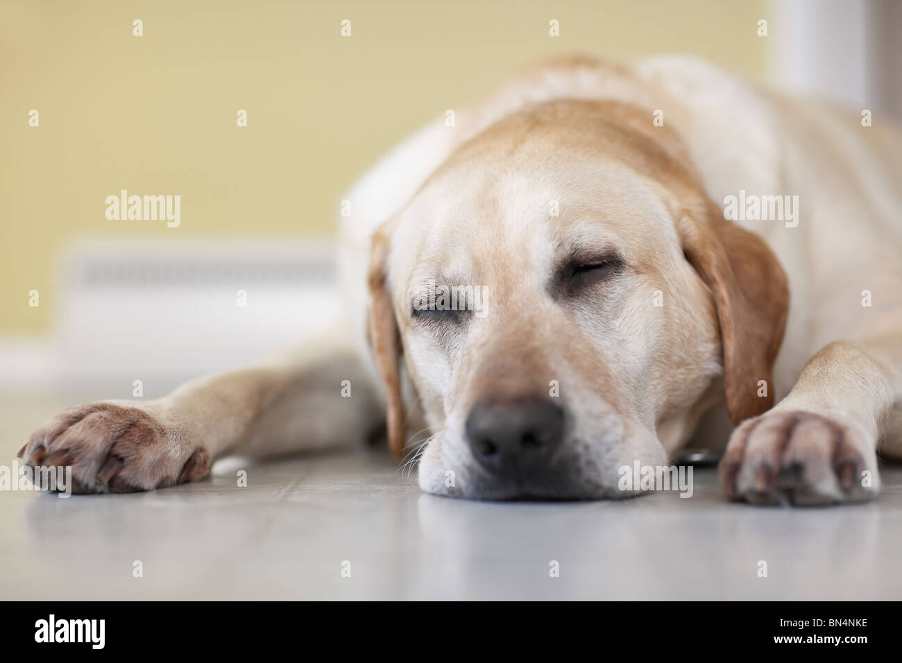 Close-up of Yellow Labrador Retriever dog sleeping on floor.  Winnipeg, Manitoba, Canada. - Stock Image